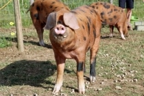 Top Barn rare breed pigs